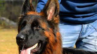 Long Coat German Shepherd | Dog Breeder Review | Scoobers