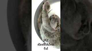 cute cat/Scottish Fold cat/猫/かわいい猫