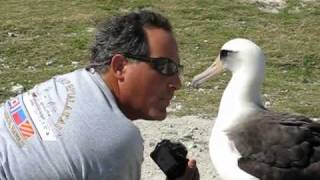 Friendly Laysan Albatross on Midway Atoll