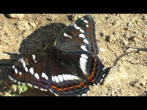 Красивая бабочка - Ленточник тополёвый, Poplar Admiral
