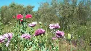 Adormideras.(Papaver Somniferum).Entorno de Doñana.España./Opium Poppies in Doñana.Spain.