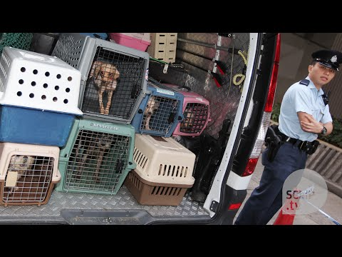 Hong Kong pedigree puppy mills expose the ugly side of the city's pet trade