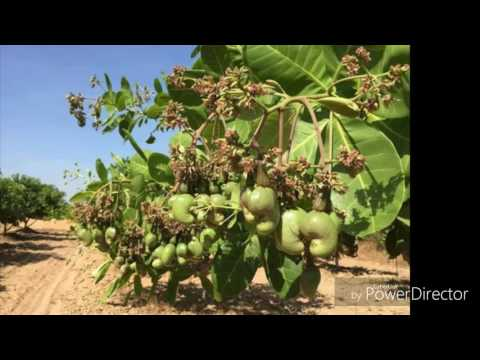 Farming Growing Cashew Trees