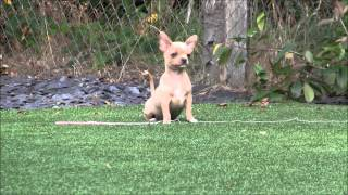 Blue and Apricot Chihuahua Puppies for Sale
