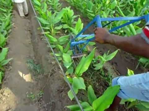 video of how to grow turmeric