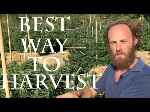 The Best Way to Harvest Cannabis- Staged Harvesting