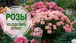 видео Уход за садовыми розами осенью (в сентябре и октябре): что важно знать?