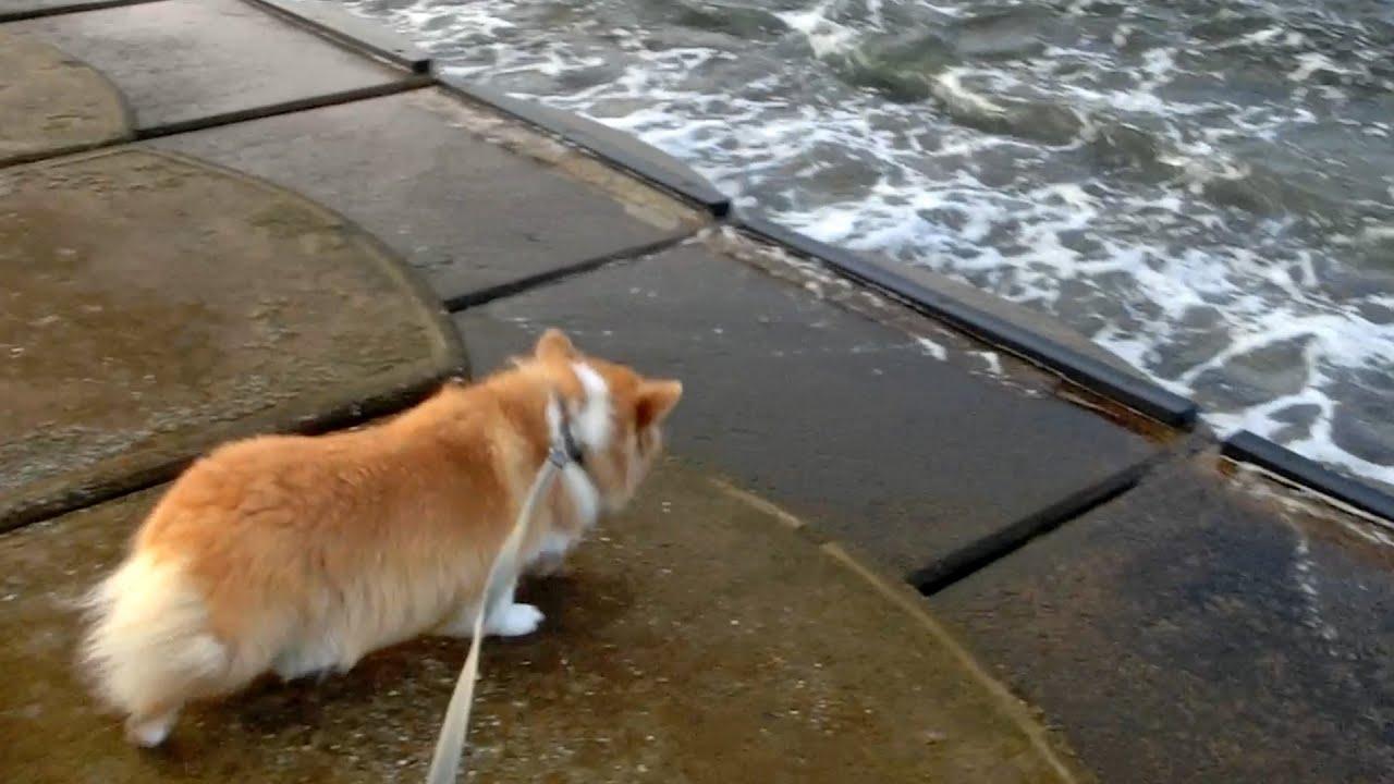 Roku is afraid of the waves. 波が怖くてドボンしない慎重なロクさん 20210915 dog corgi コーギー