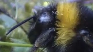 Clever queen bumble bees - Sir David Attenborough