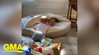 Adorable toddler wants to 'boop' dog's nose l GMA Digital