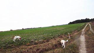 Охота 250 с гончими работа собак