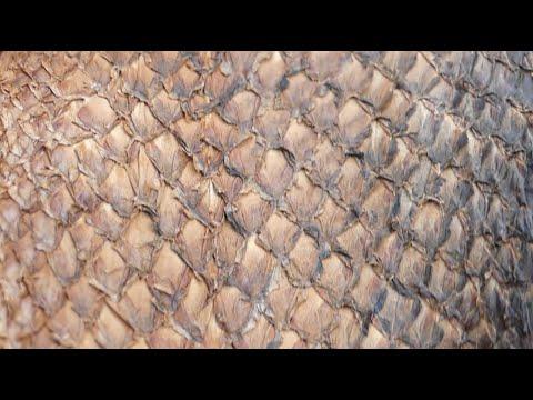 Making Fish Skin Leather