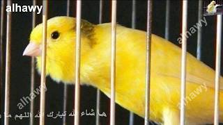 طائر الكناري يغرد بصوت حامي أقوي من الهيجان