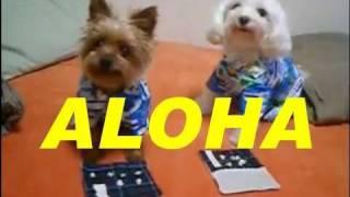 Speed-eating Contest [yorkie V.s. Maltese] Aloha Ver.