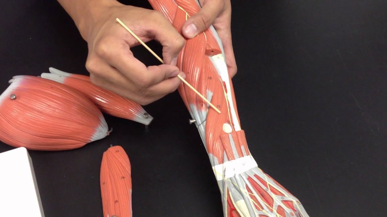 Muscles of the Arm and Forearm - YouTube