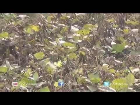Eruvaka - Green Gram (Pesara) Crop New Seeds - 10-04-2015 - 99tv