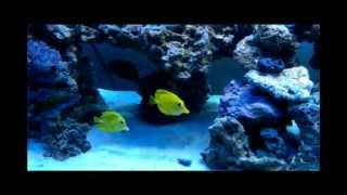 Soothing 125 Gallon Coral Reef Aquarium.