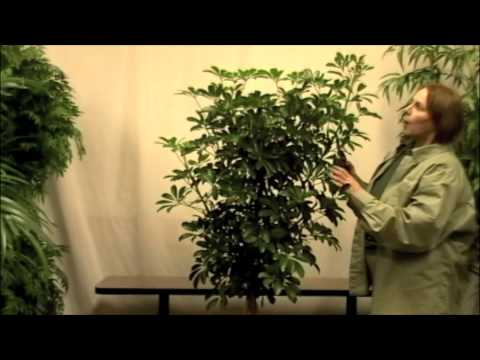 Prune This How To Basics Of Pruning House Plants Youtube