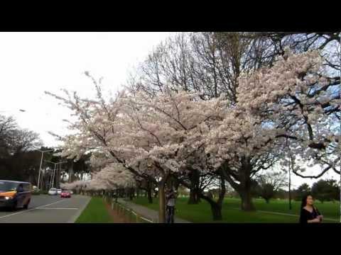 Cherry Blossom - Hagley Park, Christchurch 07-09-2012