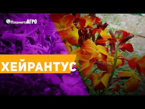 �� Семена цветов Хейрантус ✔️ Лакфиоль �� Планета Агро
