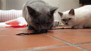 KITTENS (BSH) EATING WIRES | CHRIS & EVE
