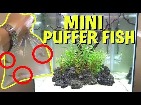 ADDING MINI PUFFER FISH TO PLANTED AQUARIUM!