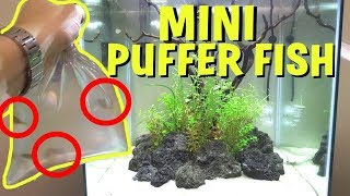 ADDING MINI PUFFER FISH TO PLANTED AQUARIUM!