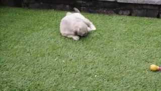 Schnauzer X Bichon Pup