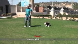 Akita  Companion Dog  Trainers In Egypt