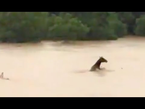 Heartbreaking Videos Show Horses Struggling to Stay Above Rising Texas Flood Waters