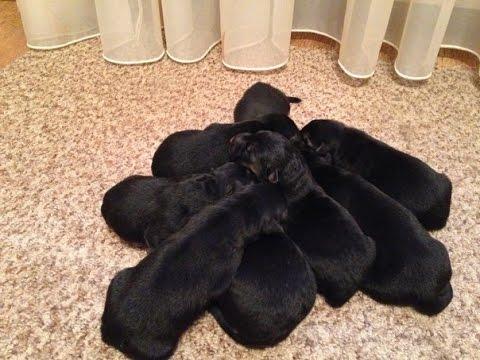 Корм для щенков Немецкой овчарки до 15 месяцев Royal Canin