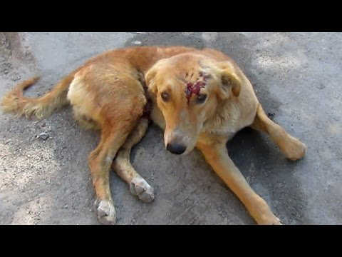 Adorable injured dog wags tail when he sees his rescuers