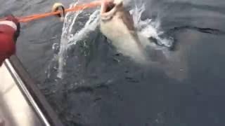 The biggest ever halibut catch!!!