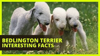 BEDLINGTON TERRIER | Interesting facts you might not know about the Bedlington Terrier