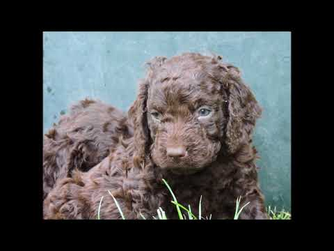 American Water Spaniel Pups In France