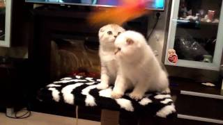 Шотландские котята в Витебске питомник шотландских кошек Lanssary