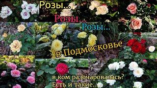 Розы в саду Подмосковья во время жары. Расскажу о некоторых сортах. Разочарование в одной розе
