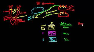 Autoregulation - Baroreceptors