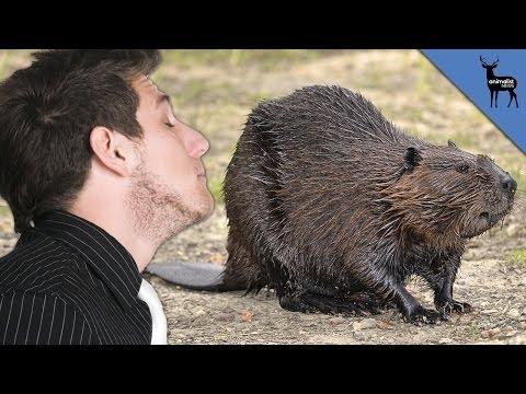 You've Probably Eaten Beaver Butt Goo