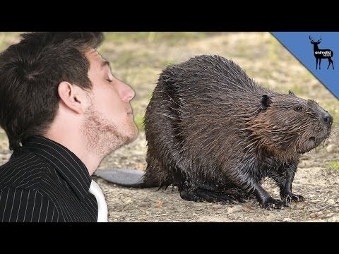 You've Probably Eaten Beaver Butt Goo - Animalist  - R09QMFAwNDY -