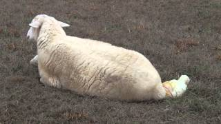 Katahdin sheep birth