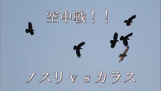 1羽の『ノスリ』が5羽のカラスに喧嘩を売られて空中戦に!!結果はど...