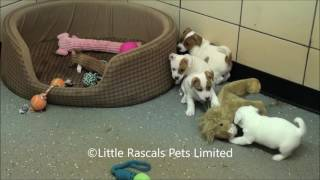Little Rascals Uk Breeders New Litter Of Jack Russell Terriers