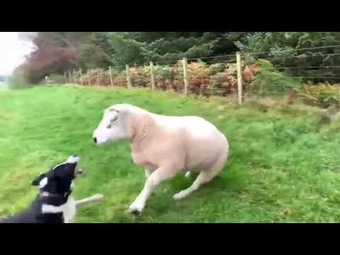 Высокопрофессиональная пастушья собака