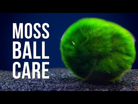 Marimo Moss Ball Care | Answering 6 Of The Most Googled Questions
