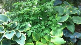 Garden Design: Creating Contrast in the Shade Garden with Hosta