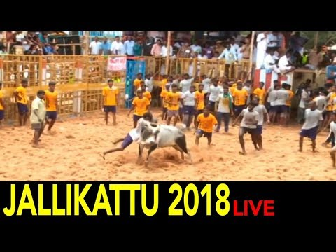 Jallikattu 2018 Live from Tamil Nadu   Bull taming sports in India
