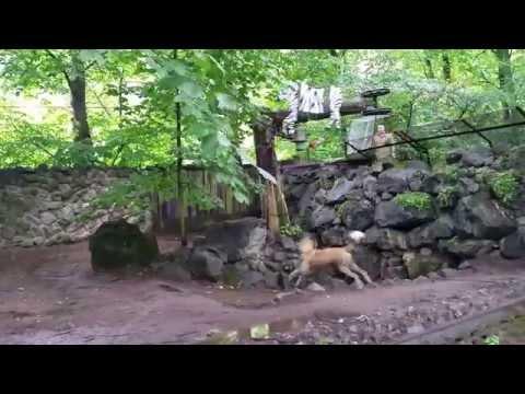 Дикая собака Динго вторично одичавшая домашняя собака 1