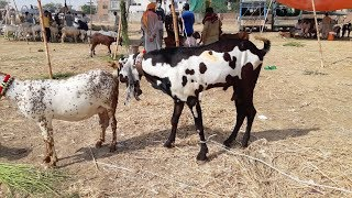 Bakra Mandi- Cow Mandi After Bakra Eid 2018 - Latest Video September 2018