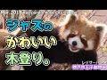 ジャズのかわいい木登り。神戸市王子動物園(レッサーパンダ)Red panda Red panda Kobe City Oji Zoo